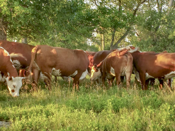 Melcher Herefords