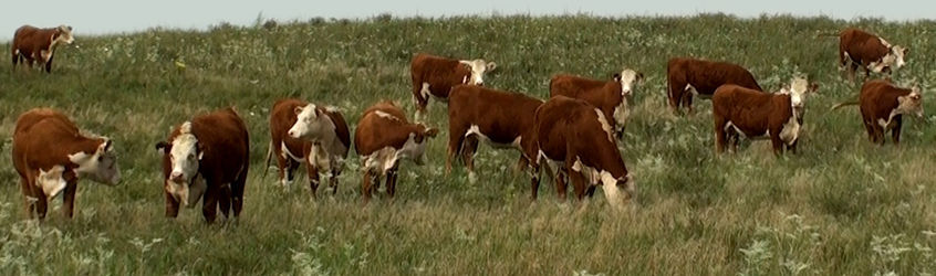 Melcher Herefords Inc.